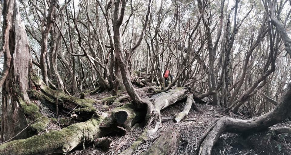 [中級山]塔魔巴尖縱走,軟腳做惡夢路線,被倒木環繞的地方 @飯糰五號的旅遊狂想+